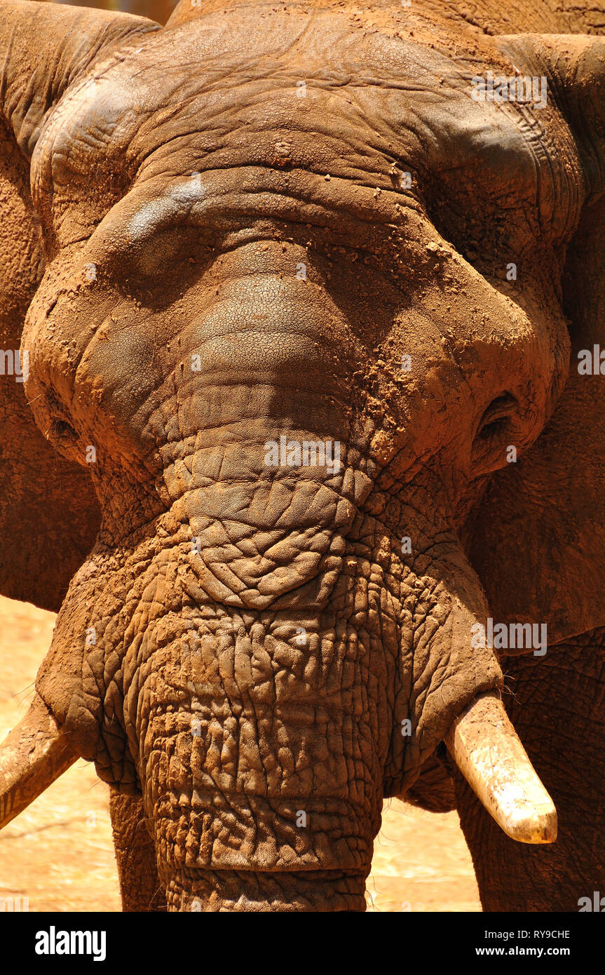Close up view of elephant head. - Stock Image