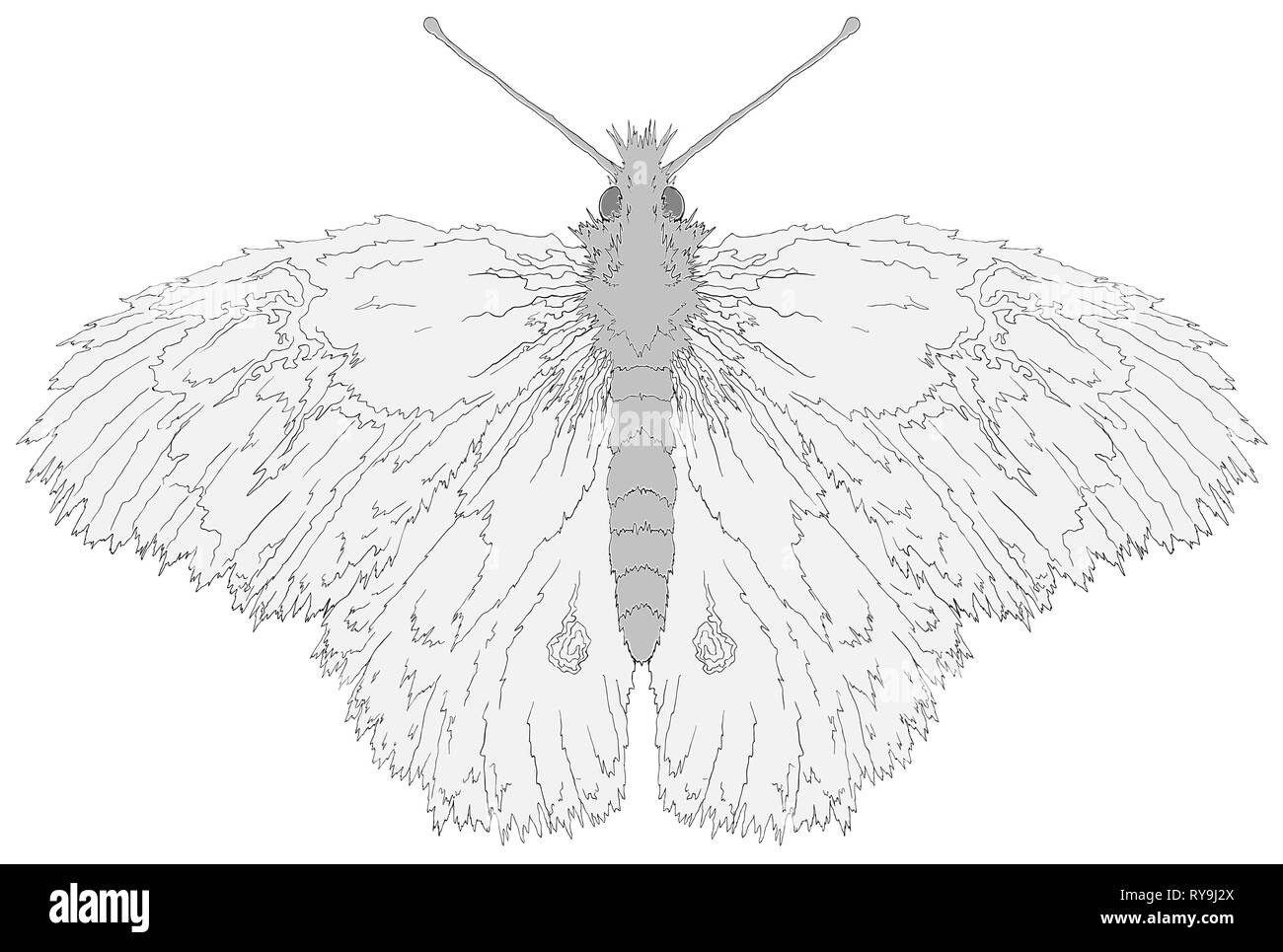 Fuzzy butterfly line drawing vector illustration over white horizontal isolated