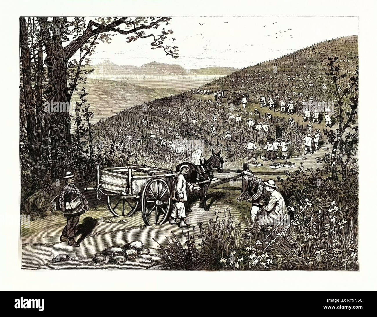 California: Our National Industries: Grape-Culture in the Sonoma Valley. U.S., Engraving 1880 1881 - Stock Image