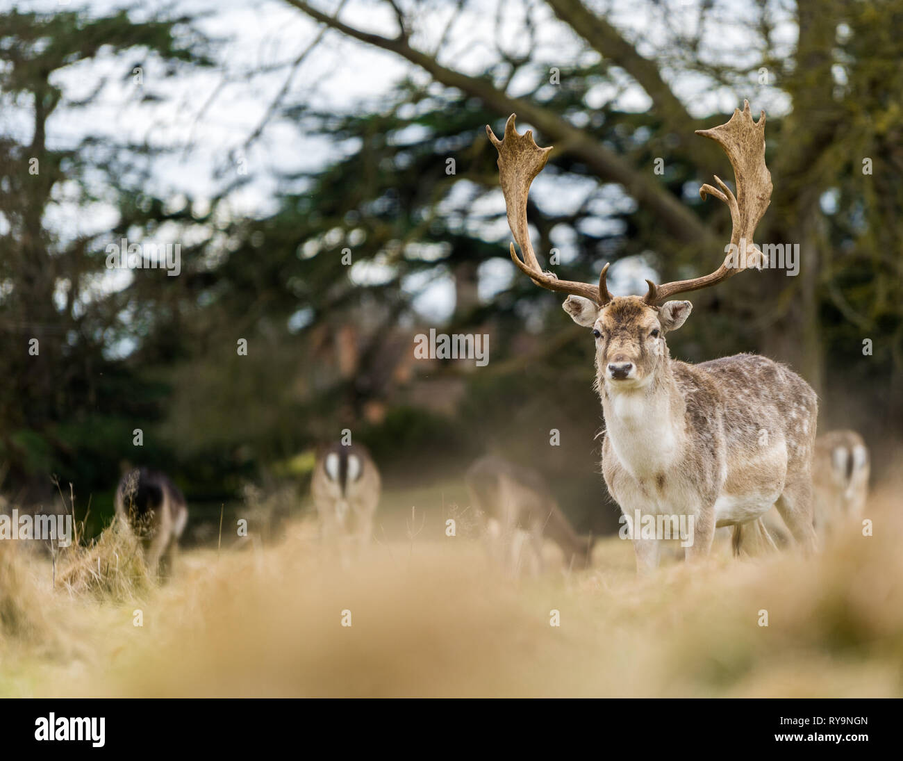 Stag deer looking at camera in Autumn taken from very low angle Stock Photo