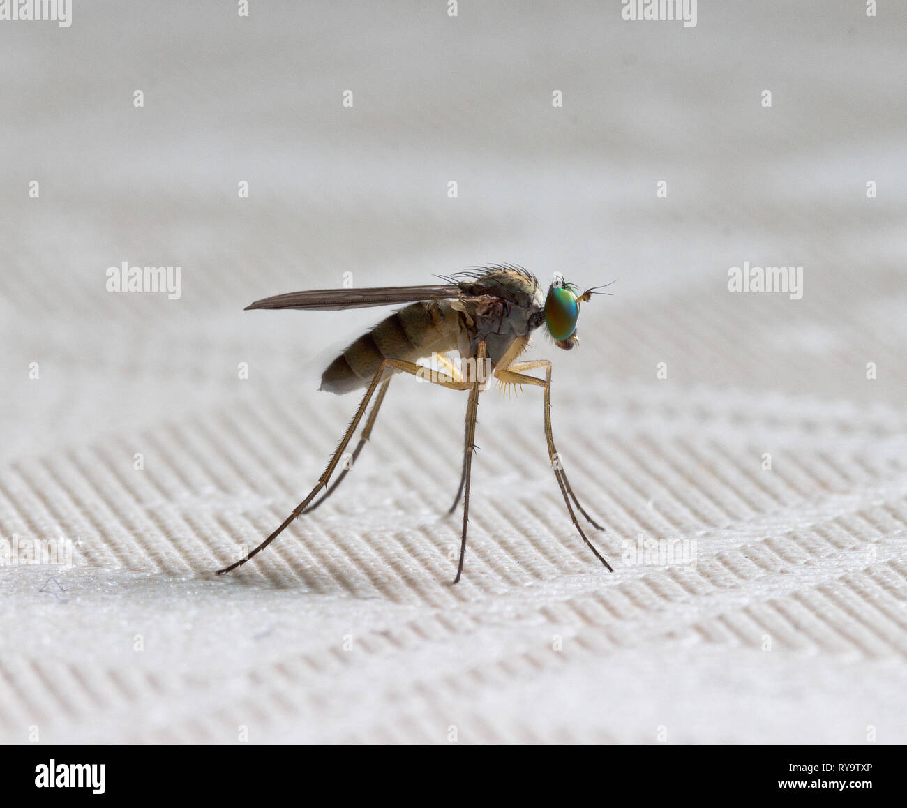 Fly.Robberfly on the table - Stock Image