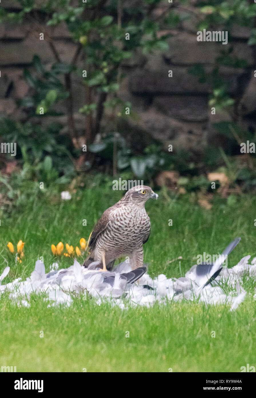 Sparrowhawk UK - a sparrowhawk feeding on a bird in a domestic garden, Suffolk UK - Stock Image