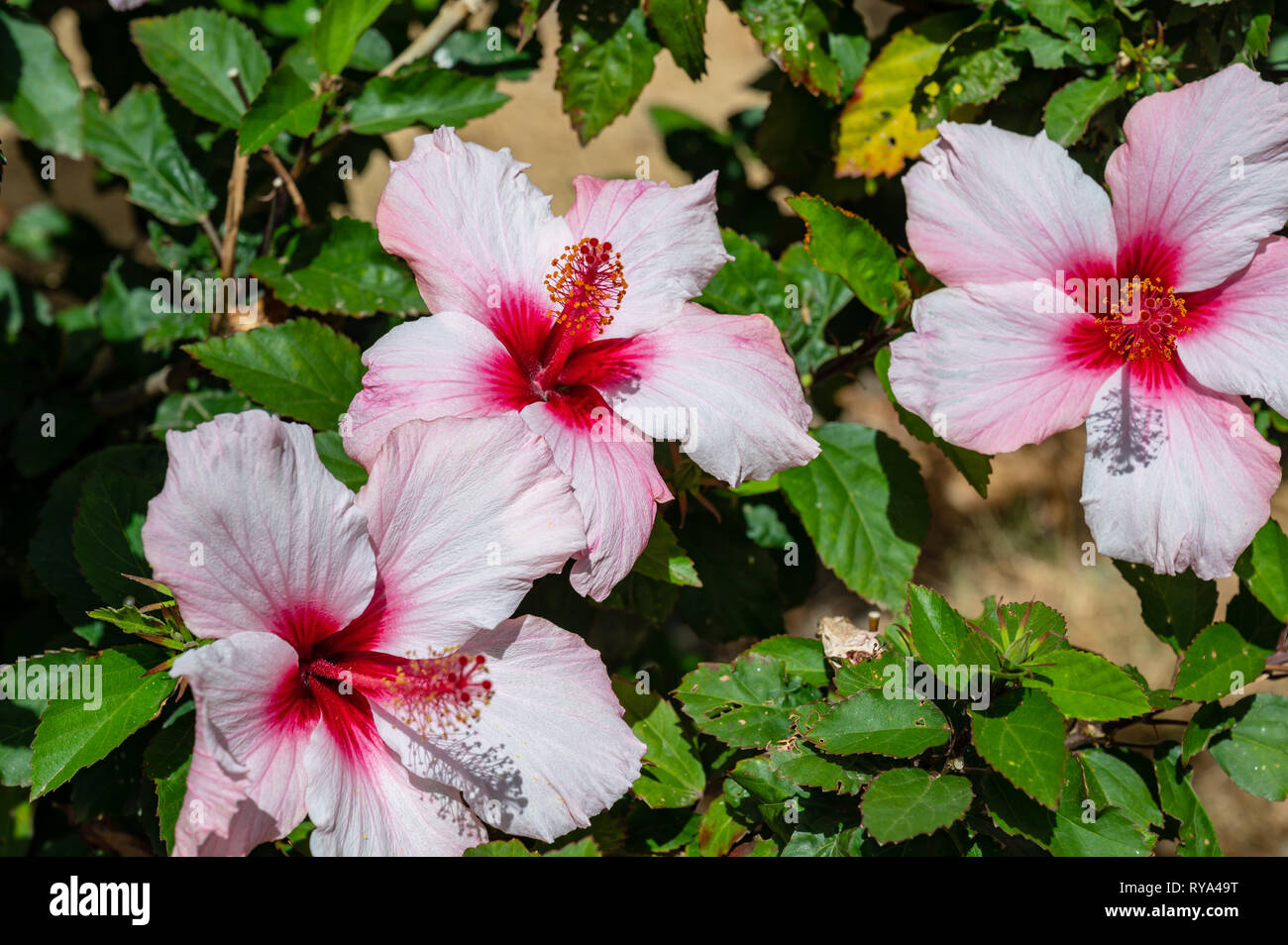 hibiscus flower on a shrub Stock Photo