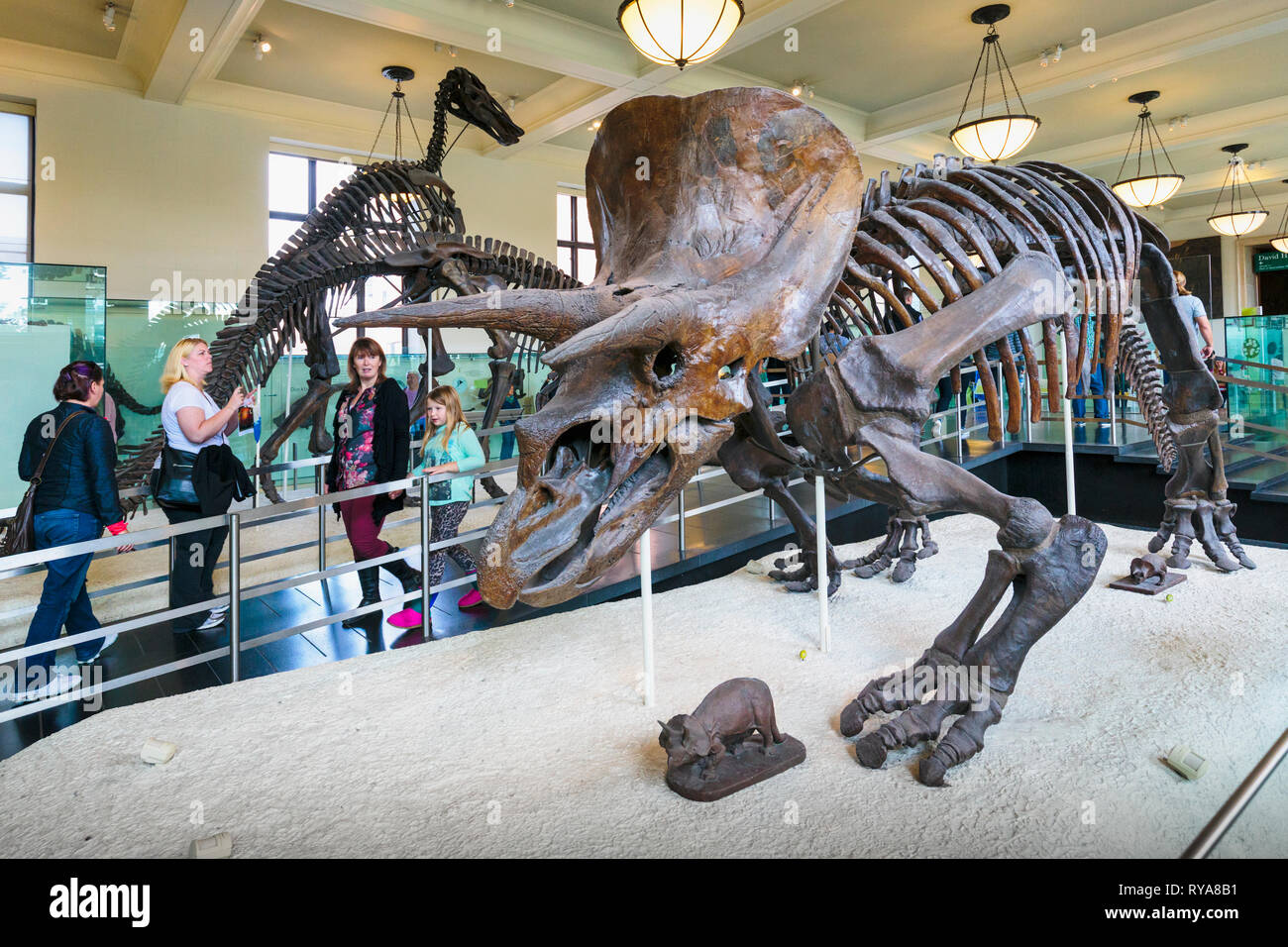 Fossil specimen of the plant-eating dinosaur Triceratops in the American Museum of Natural History.  New York City, New York State, United States of A - Stock Image
