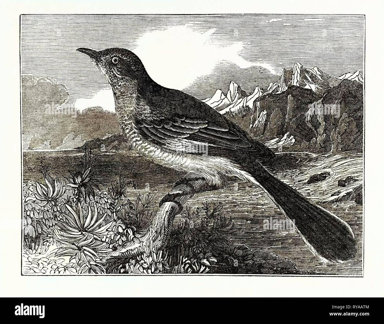 The Mocking-Bird - Stock Image
