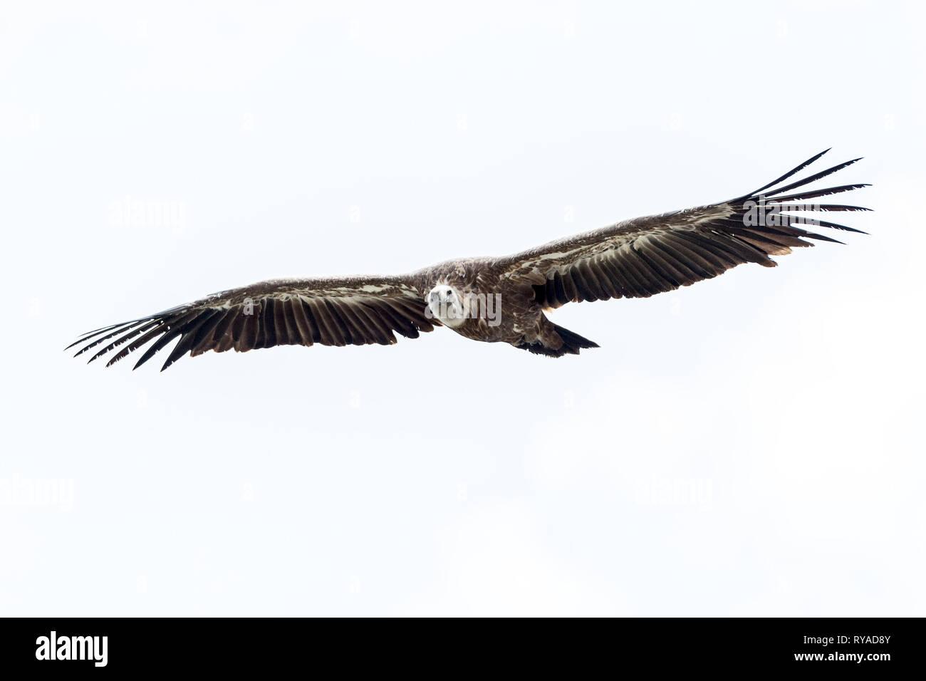 Ein Bartgeier fliegt am Himmel ueber der Verdonschlucht in Frankreich THEMENBILD Geier, 05.09.2018 Bildnachweis: Mario Hommes / HH-Photography - Stock Image