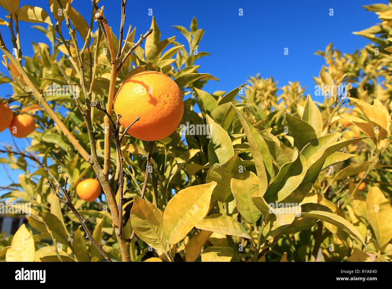 Orangen an einem Orangenbaum vor blauem Himmel bei Themenbild Sommer, Foto: Mario Hommes / HH-Photography-Pressefoto - Stock Image