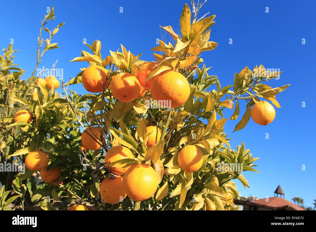 Orangen an einem Orangenbaum vor blauem Himmel bei Themenbild Sommer, Foto: Mario Hommes / HH-Photography-Pressefoto Stock Photo