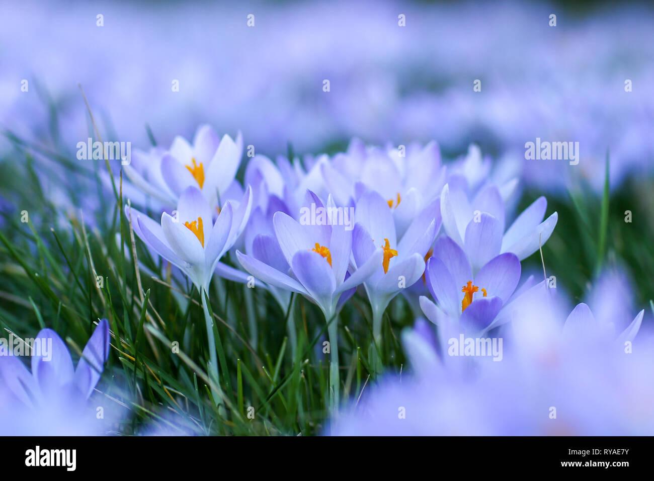 Krokusse auf einer Wiese beim THEMENBILD Fruehling, 15.02.2019  Bildnachweis: Mario Hommes / HH-Photography-Pressefoto Stock Photo