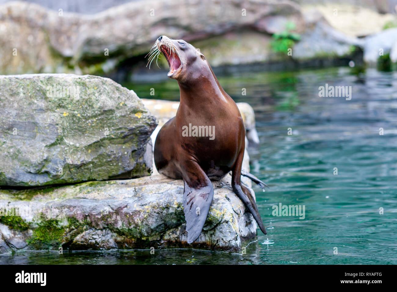 Ein kalifornischer Seeloewe in der ZOOM-Erlebniswelt Gelsenkirchen, 01.07.2016 Foto: Mario Hommes - Stock Image