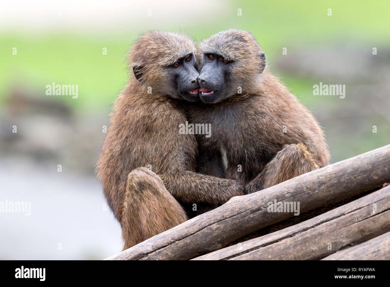 Zwei Paviane in der ZOOM-Erlebniswelt Gelsenkirchen, 01.07.2016 Foto: Mario Hommes - Stock Image