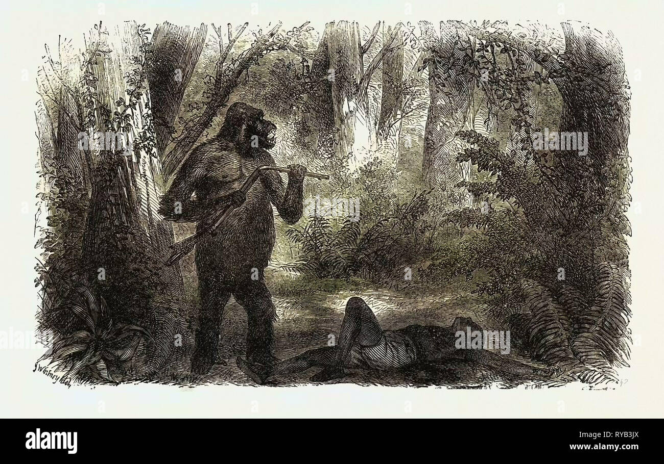 A Hunter Killed by a Gorilla - Stock Image