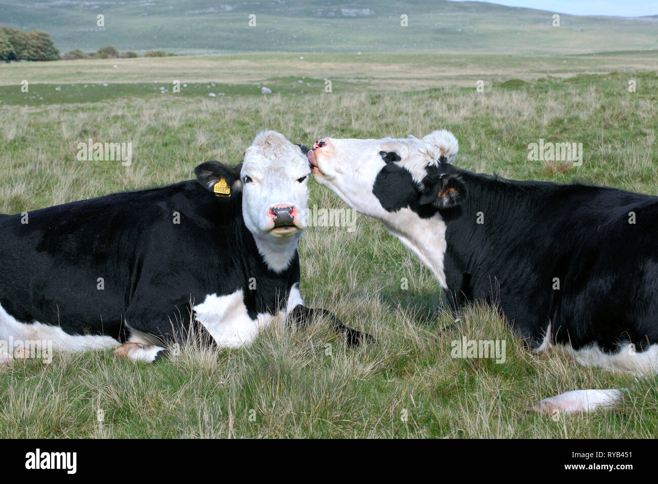 Friendly cows near Malham Tarn in the Yorkshire Dales National Park. - Stock Image