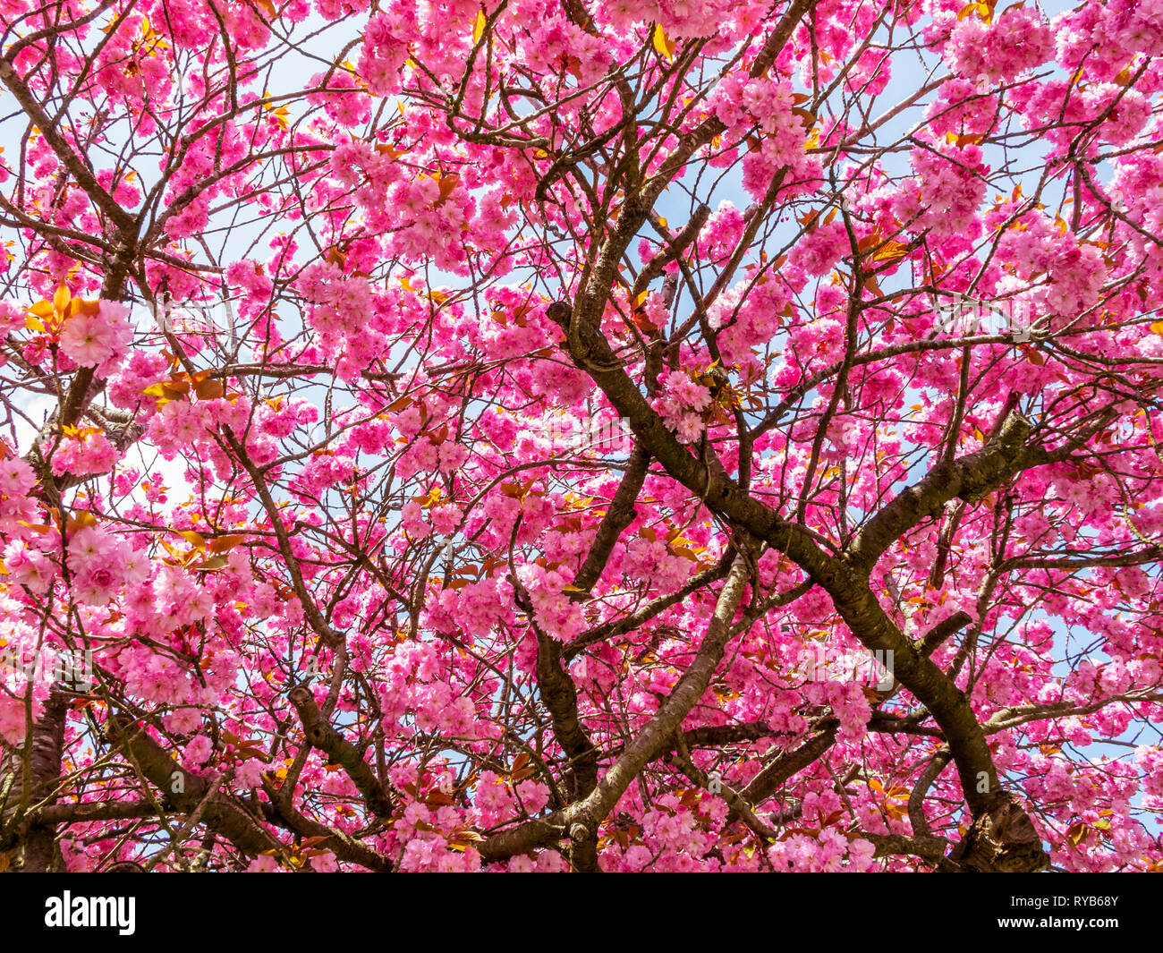 Beautiful Blooming May Cherry Blossom Tree In Front Of Saint John The Baptist Church In Rocherath Krinkelt Belgium Texture Background Stock Photo Alamy