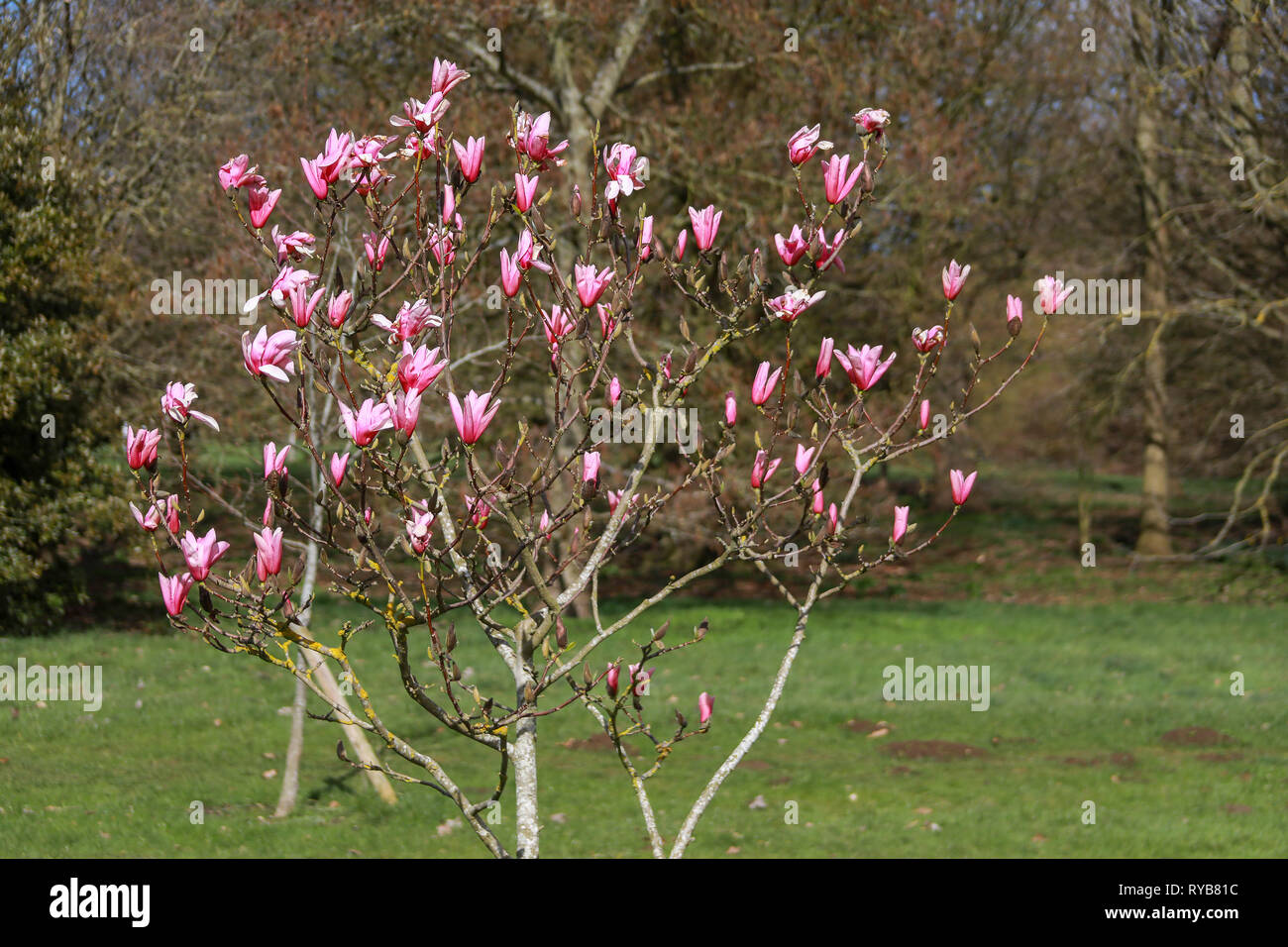 Small Pink Magnolia Tree Bush In The Sun In Flower In Oxford