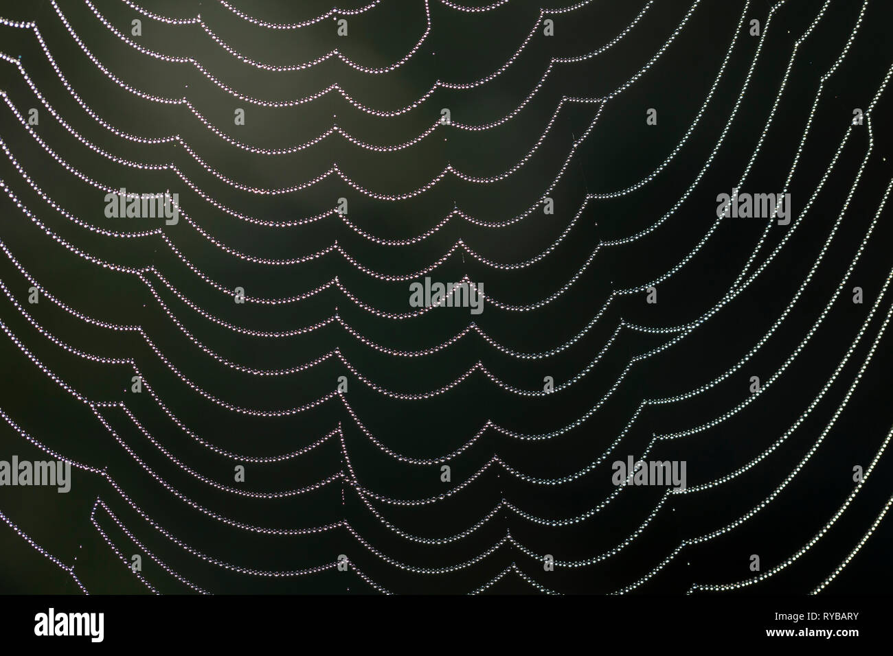 Close-up of dewdrops / dew drops on spider's web / spiderweb - Stock Image