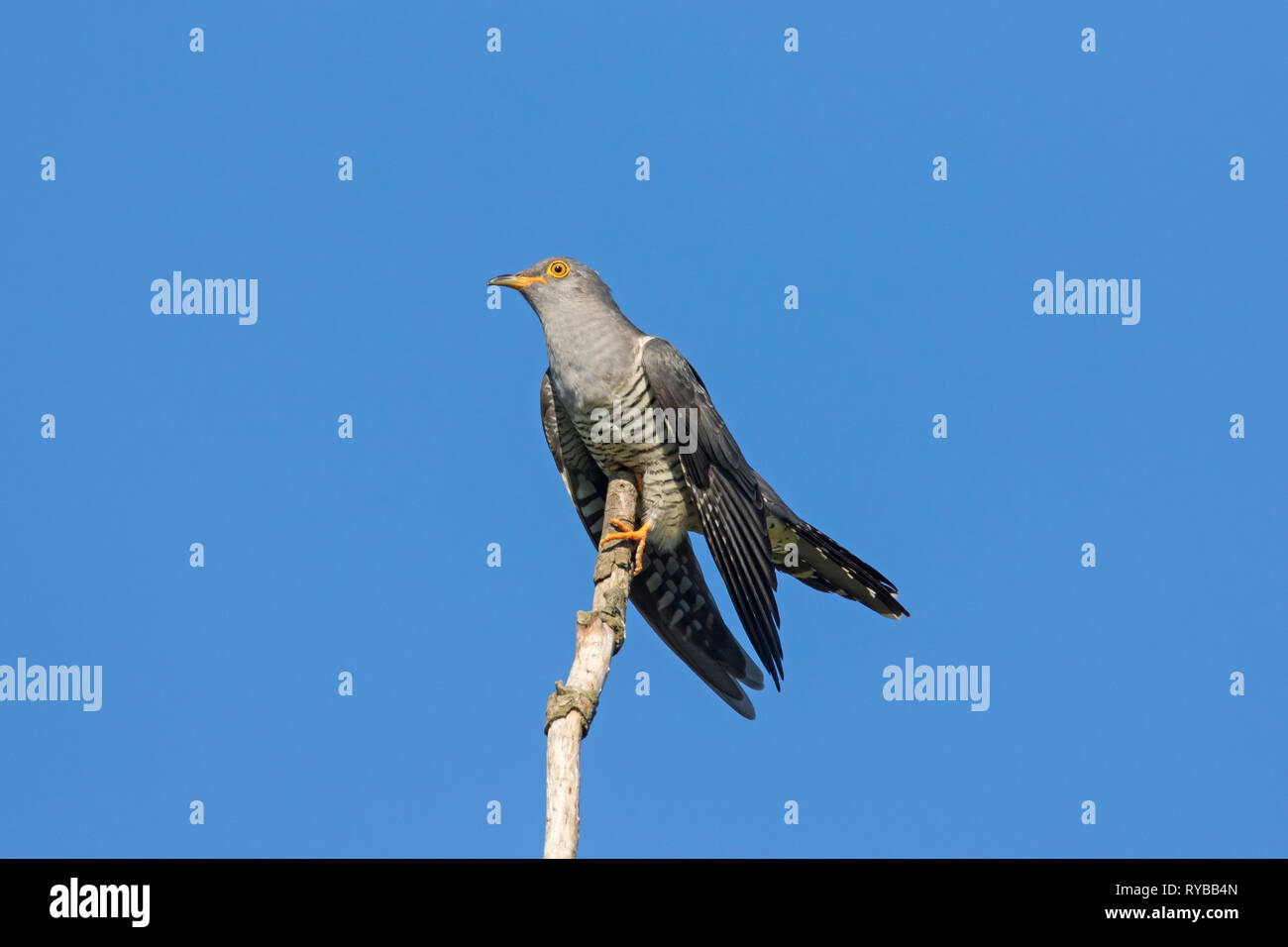 Common cuckoo (Cuculus canorus) male perched in tree on top of branch in spring - Stock Image