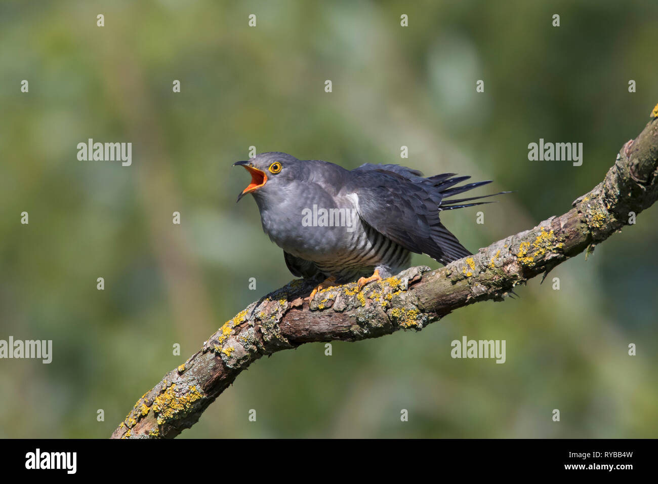 Common cuckoo (Cuculus canorus) male perched in tree and calling in spring - Stock Image