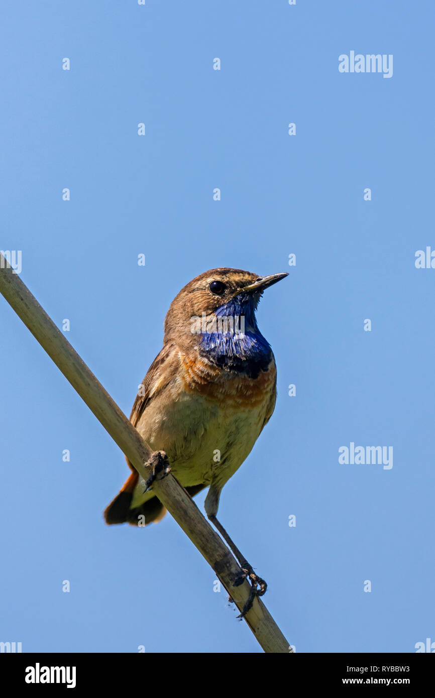 White-spotted bluethroat (Luscinia svecica cyanecula) male perched on reed stem in wetland in spring - Stock Image