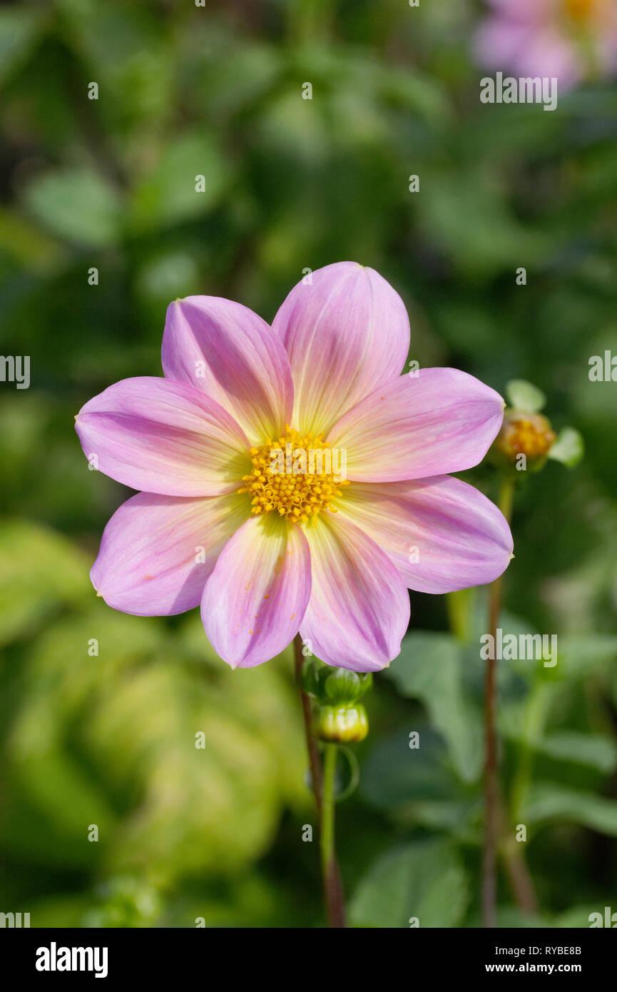 Dahlia 'Rachel de Thame' flower. - Stock Image