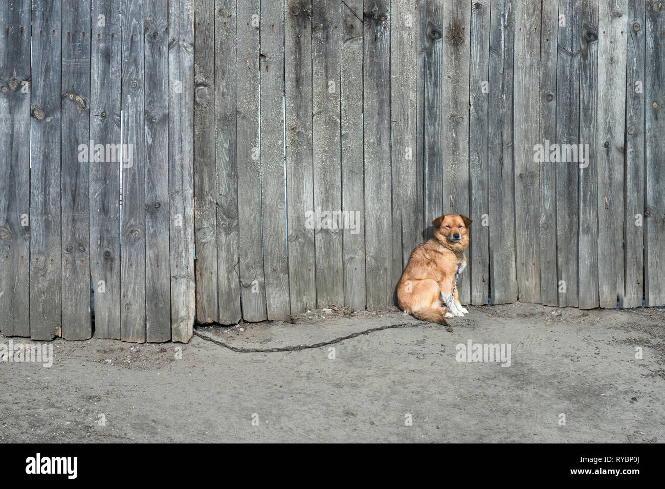 Non-pedigree brown dog sits at the wooden fence. Uncontented animal on chain. High wooden grey fecne on the background for tired dog. Domestic animals - Stock Image