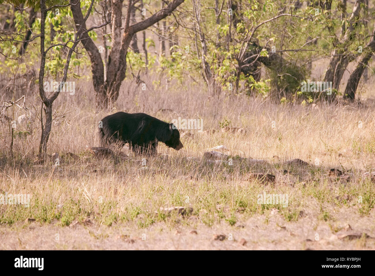 Himalayan,black bear,passing throughhilly ,dry ,tracts,of ,Tadoba National park,in search of ants,insects,from,ant mounds,nose,mouth,smeared with dust - Stock Image