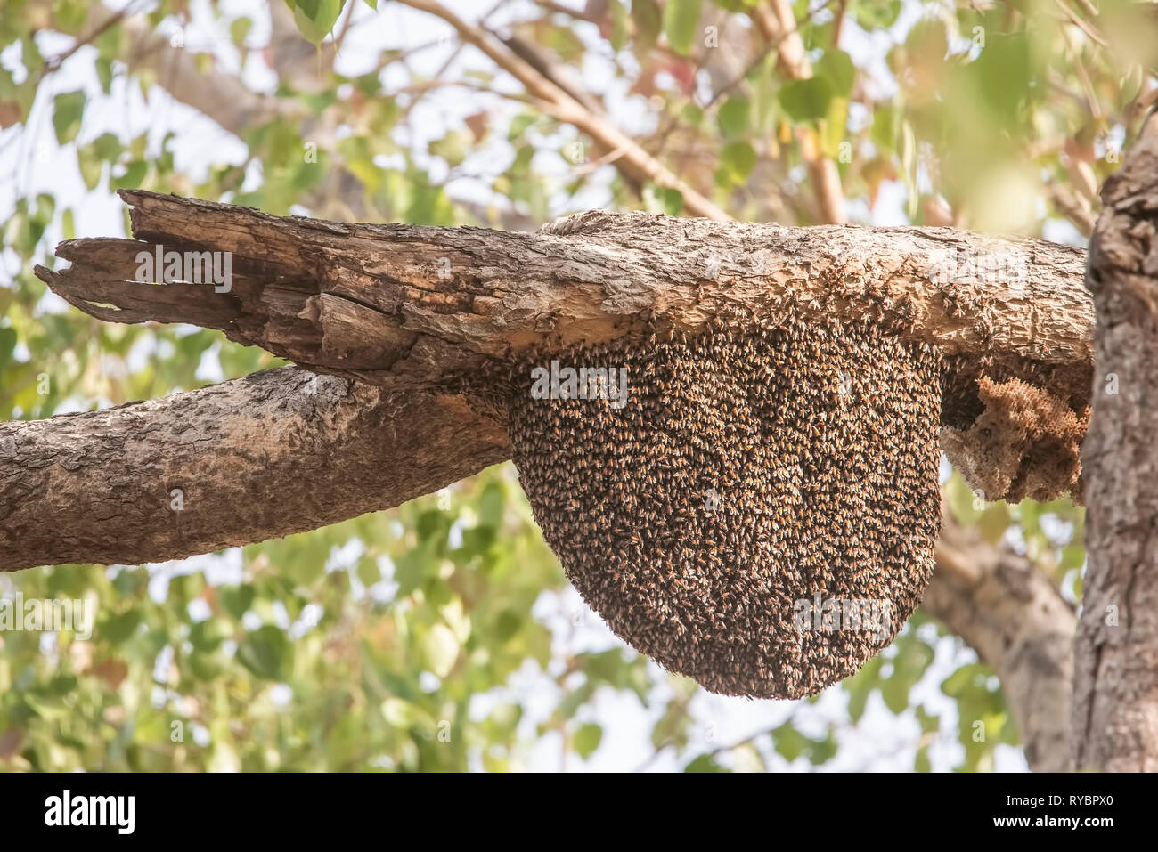 Beehive,honey bee pupas,coming out, from metamorphosis,on hard wood,trees,Tadoba National Park,in early summer ,month,Maharastra,India. - Stock Image
