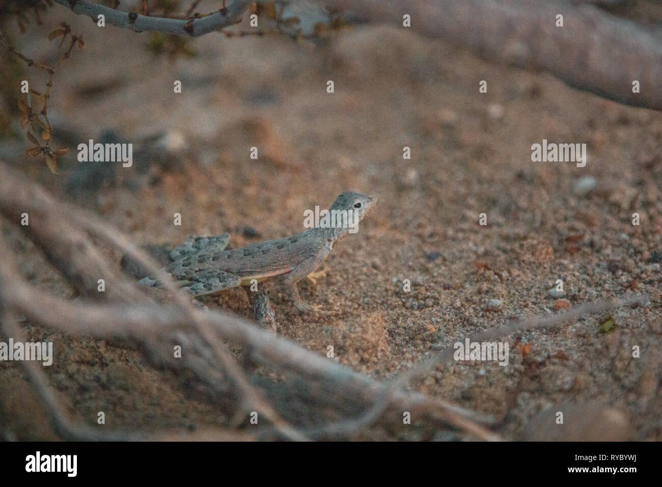 Scaly lizard in a rough Texan desert. - Stock Image