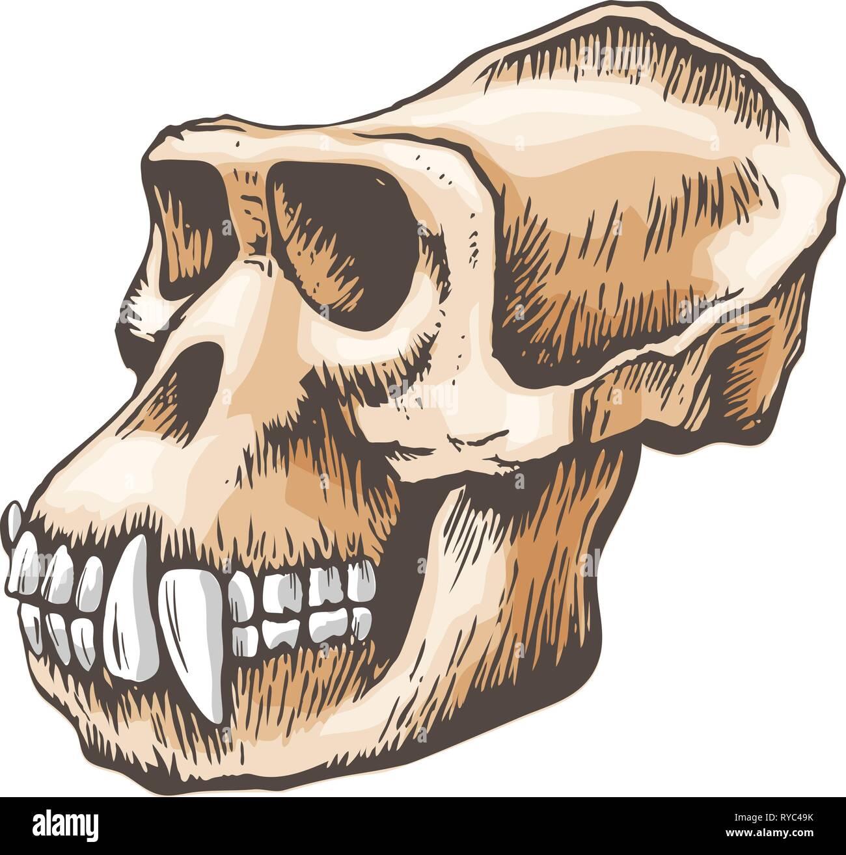 Gorilla Monkey Skull vector - Stock Image