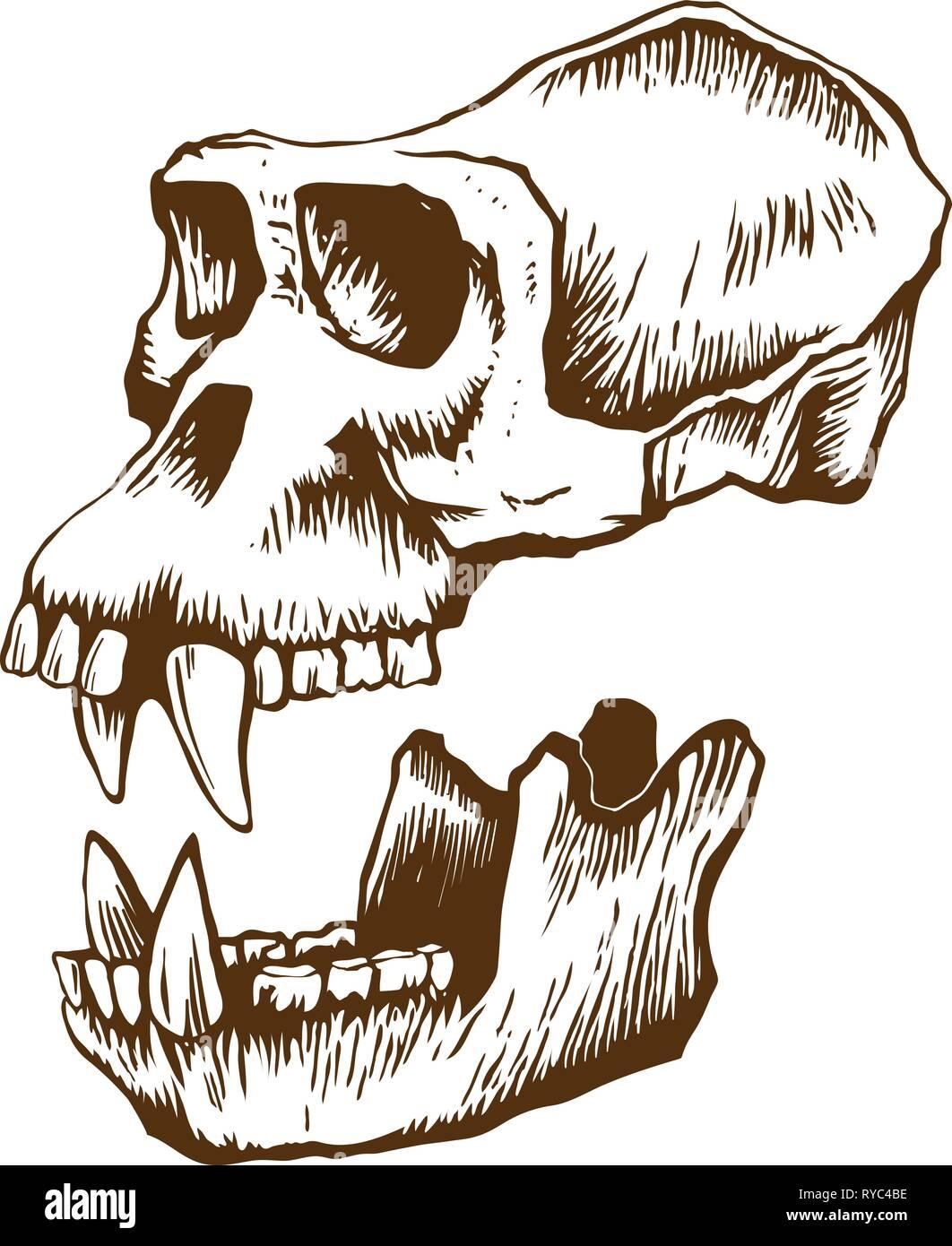 Garrile monkey skull - Stock Image