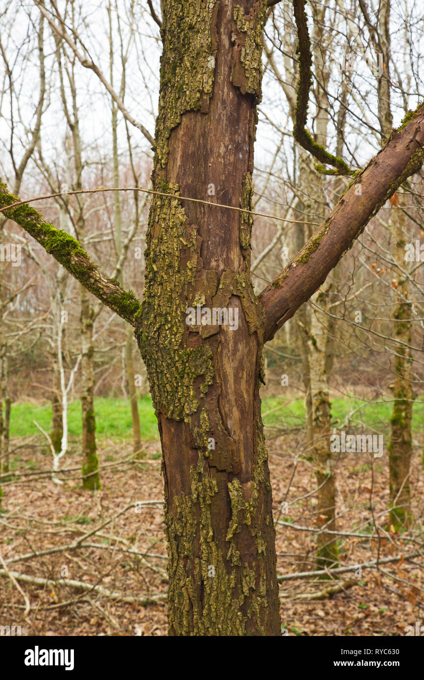 Deciduous trees damaged by Grey Squirrels Devon UK - Stock Image