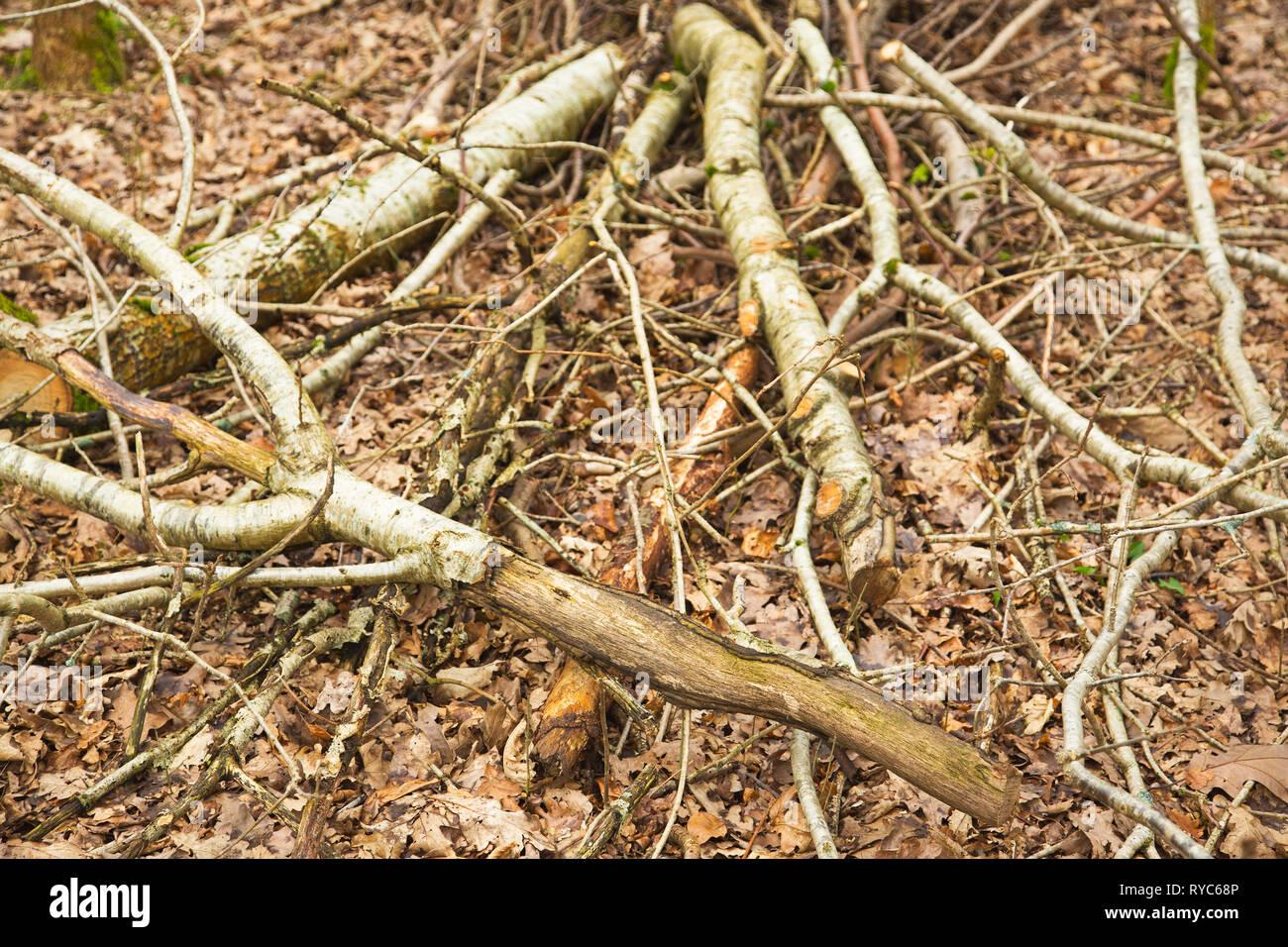 Deciduous trees damaged by Grey Squirrels Devon UK - Stock Image