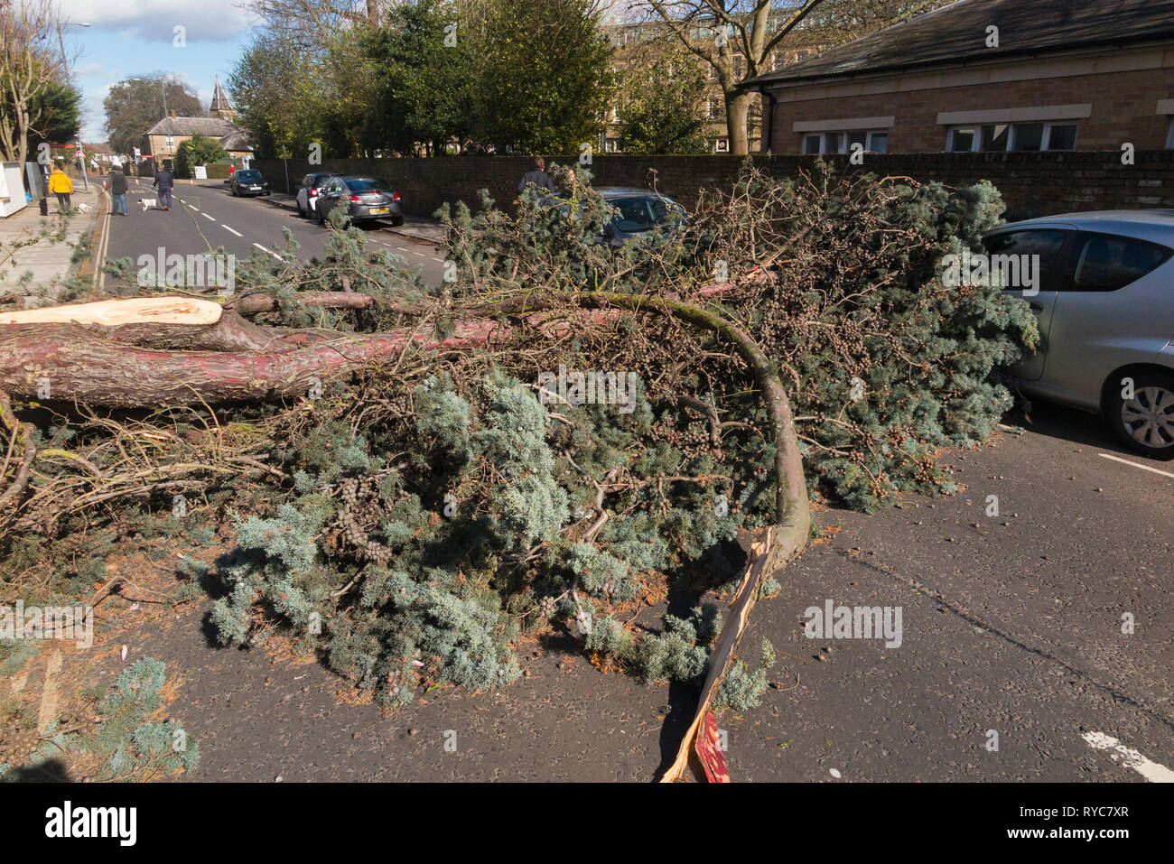 A tall evergreen tree, blown over by high winds, crushes the front of a car and completely blocks the A309 Waldegrave Road for a number of hours. Stock Photo