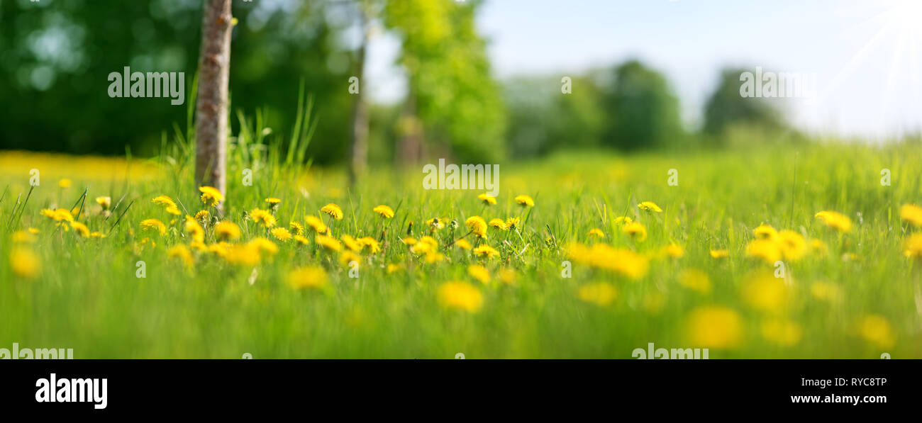 Field with yellow dandelions and blue sky - Stock Image