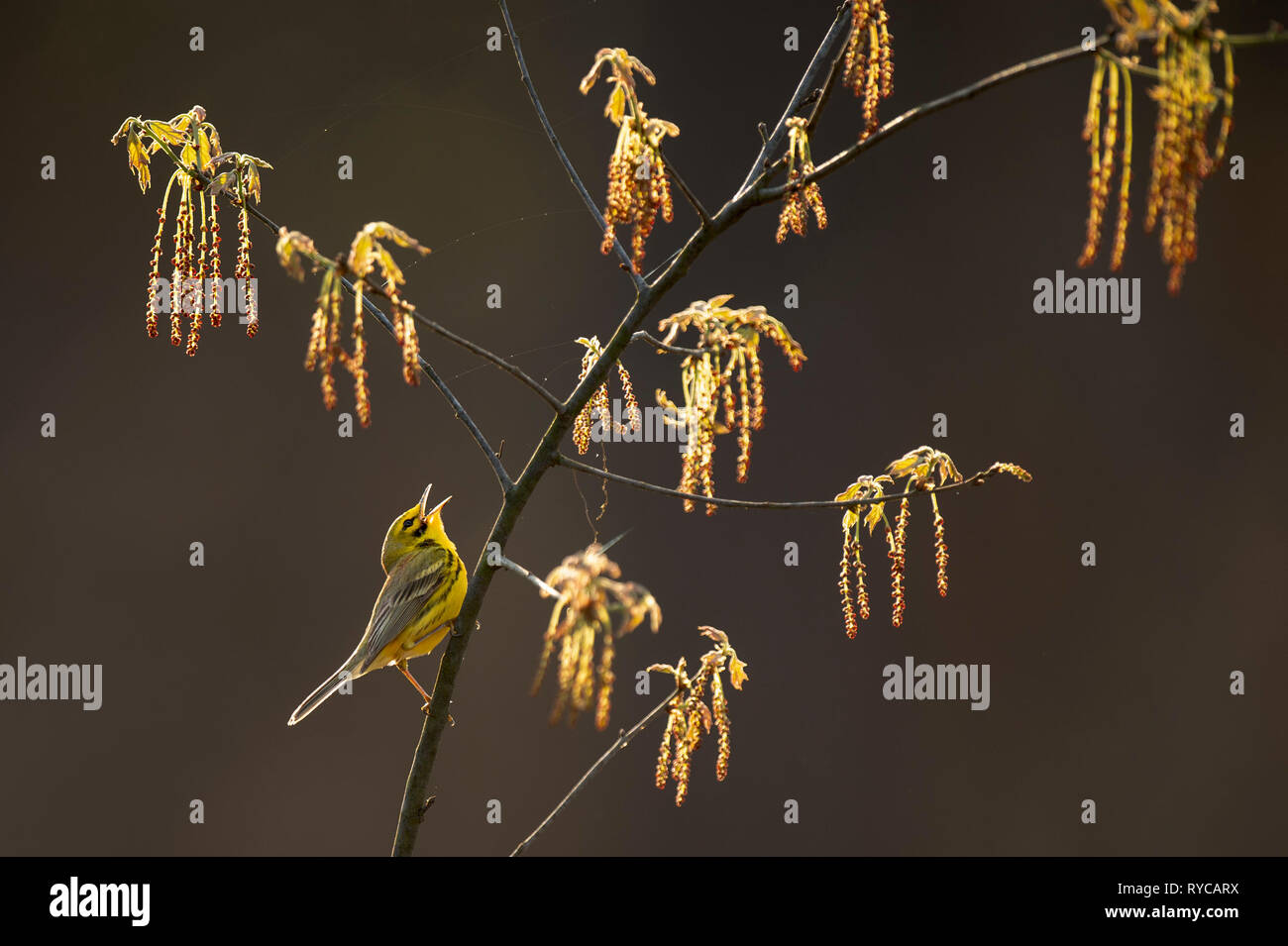 A Prairie Warbler sings loudly while perched in a branch with fresh spring growth while glowing in the morning sun. - Stock Image