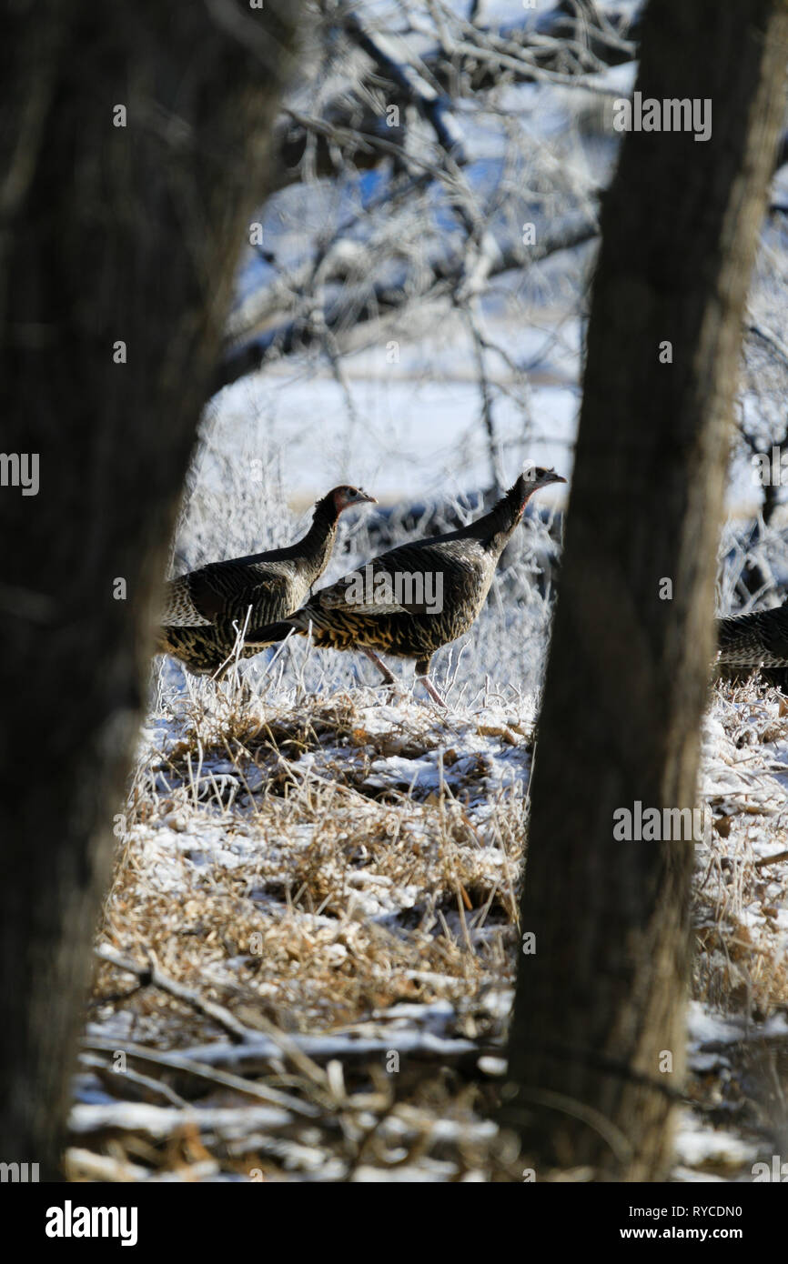 Wild Turkeys forage for food among the trees at Lake Scott State Park, in Western Kansas, February 2019 Stock Photo