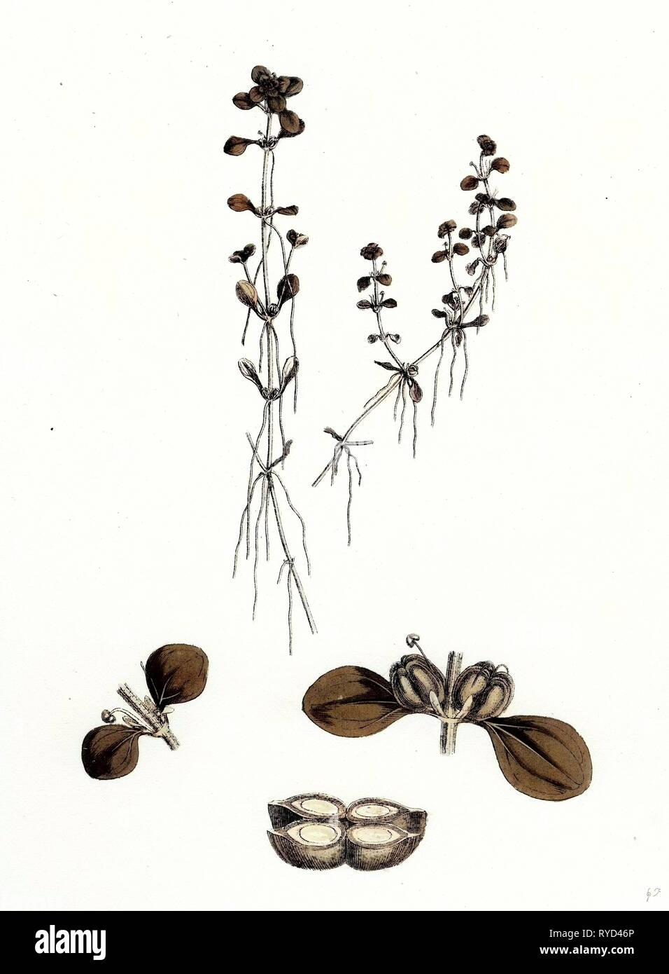 Callitriche Platycarpa Large-Fruited Water Starwort - Stock Image