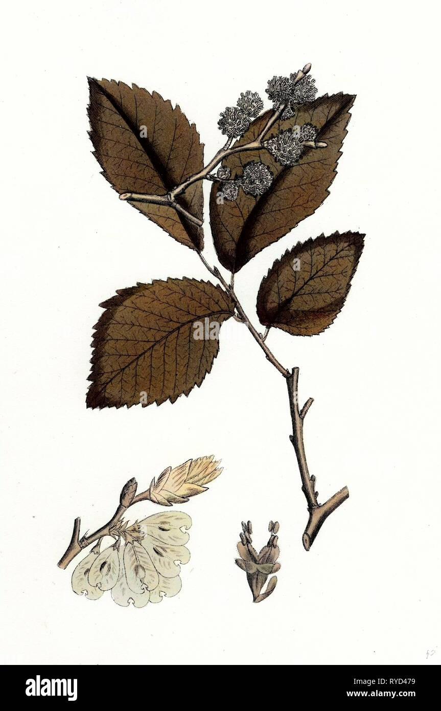 Ulmus Suberosa Var. Genuina Common Elm Var. A - Stock Image