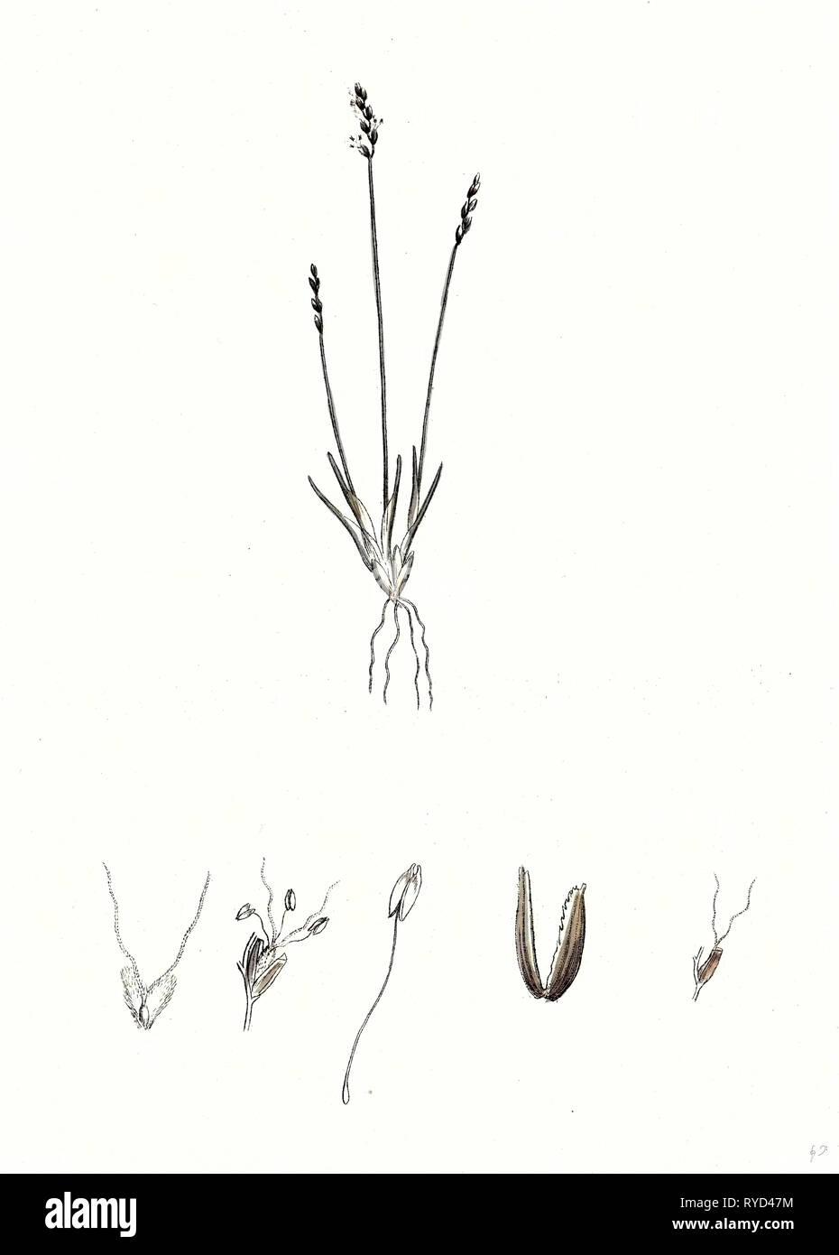 Chamagrostis Minima Early Sand-Grass - Stock Image
