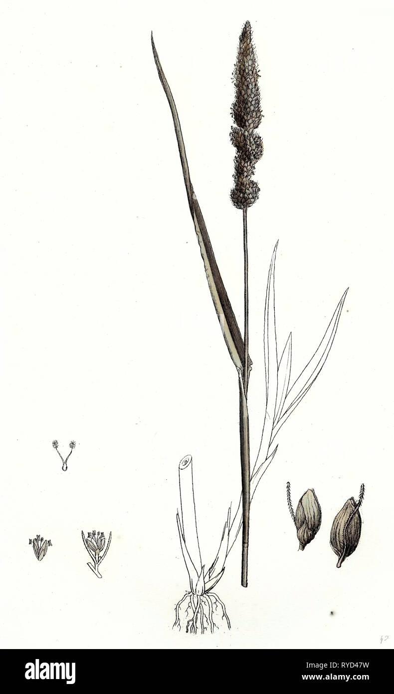 Setaria Verticillata Rough Bristle-Grass - Stock Image