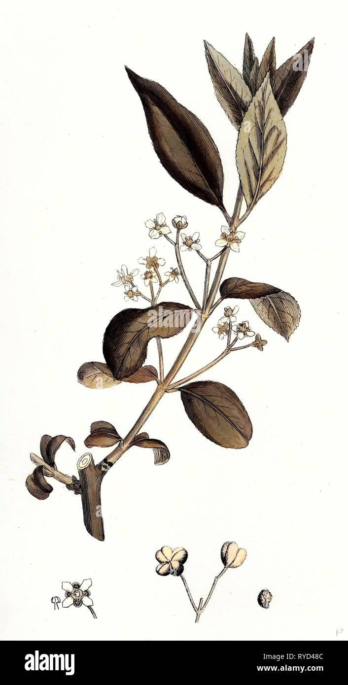 Euonynius Europeus Spindle Tree - Stock Image