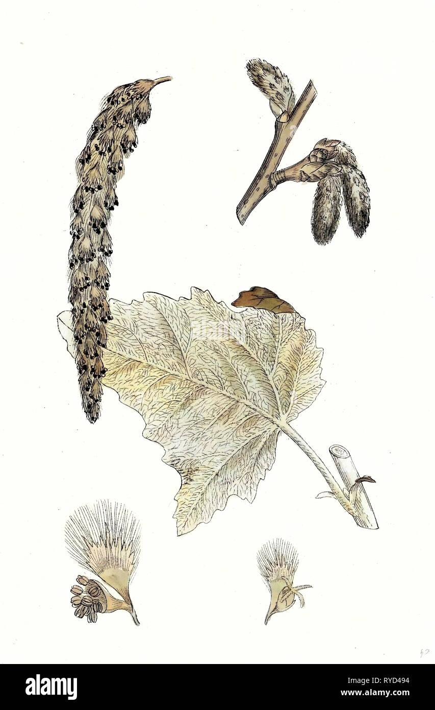 Populus Eu-Alba White Poplar - Stock Image
