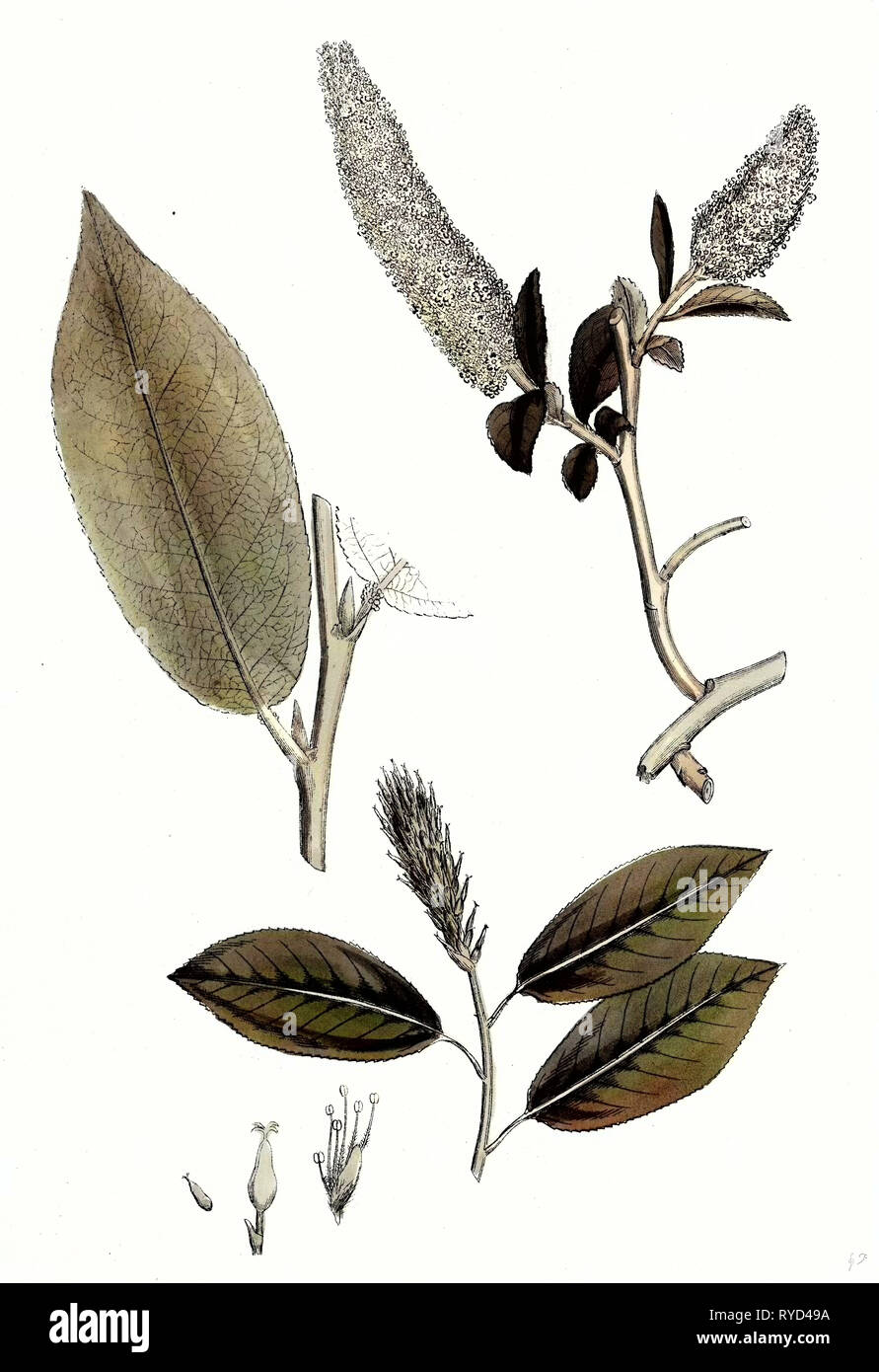 Salix Pentandra Bay-Leaved Willow - Stock Image