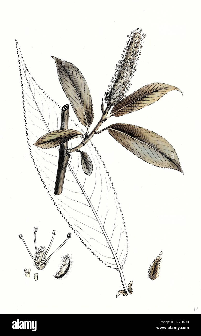 Salix Cuspidata Mas. Pointed-Leaved Willow Male - Stock Image