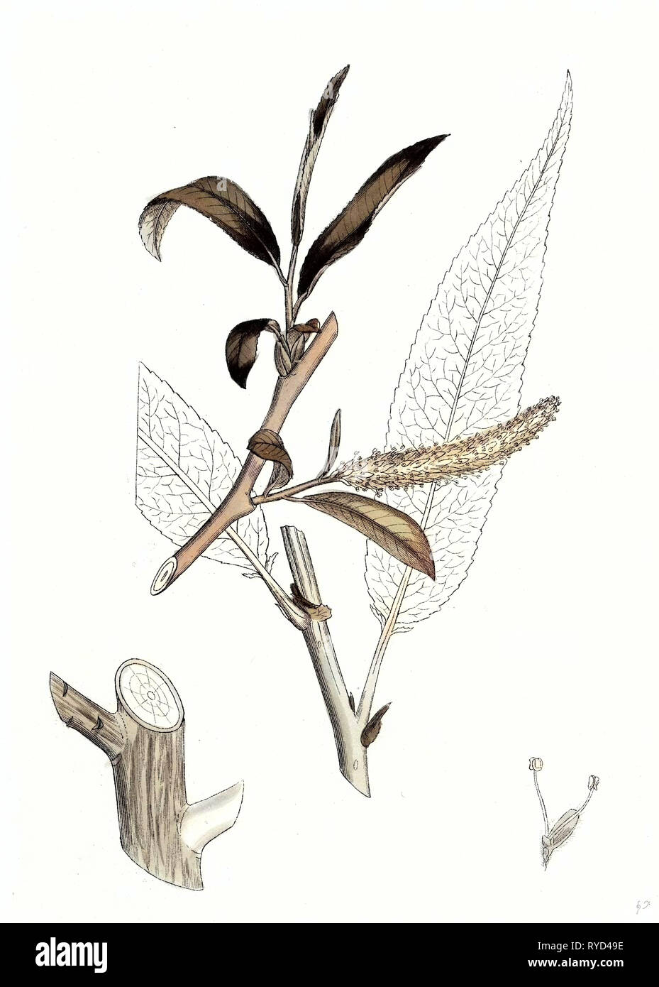 Salix Fragilis Var. Decipiens White Welsh Willow - Stock Image