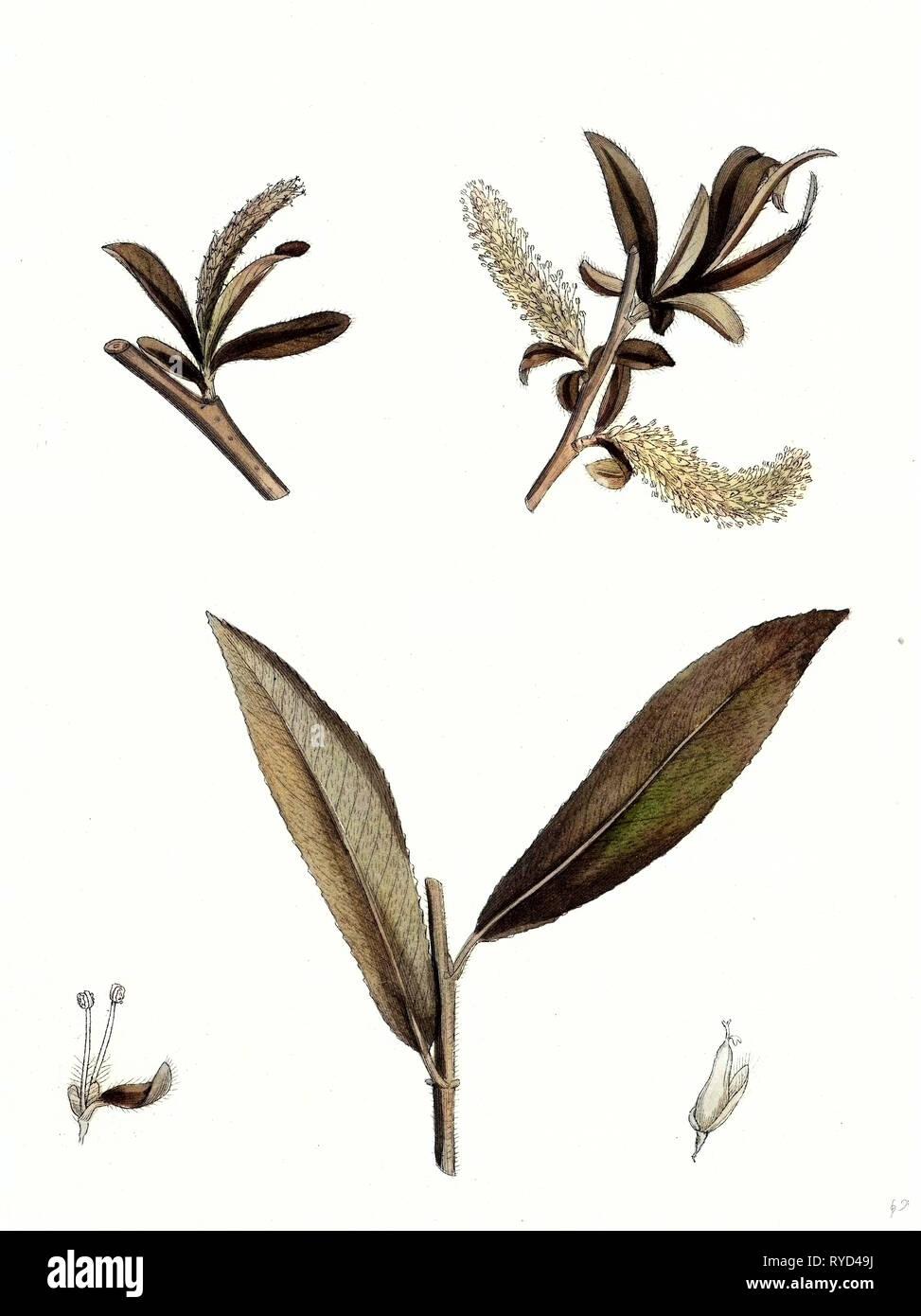 Salix Alba Var. Genuina White Willow - Stock Image
