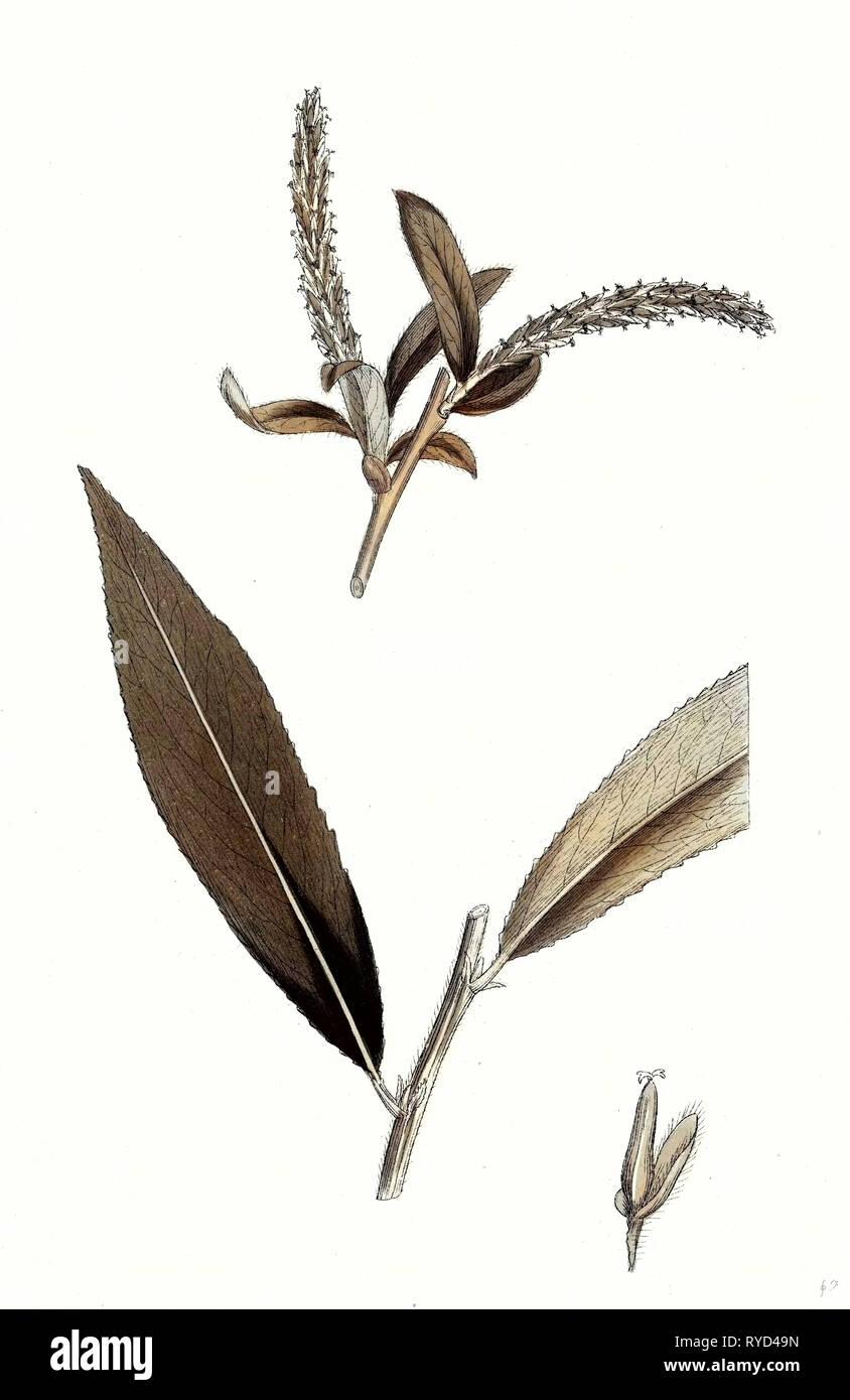 Salix Alba Var. Coerulea Blue Willow - Stock Image
