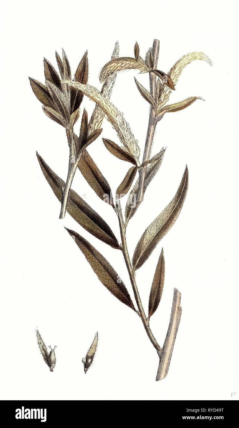 Salix Alba Var. Vitellina Golden Willow - Stock Image