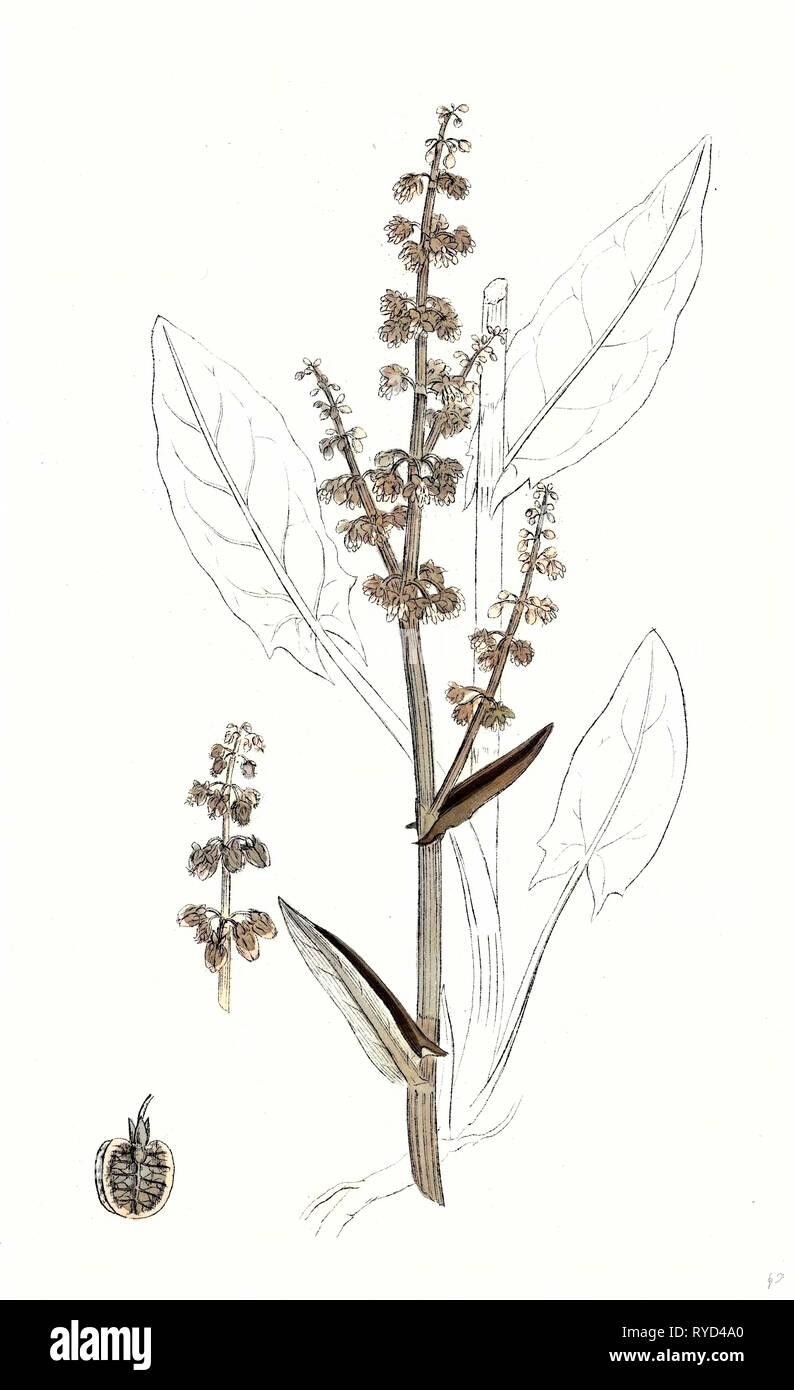 Rumex Acetosa Common Sorrel - Stock Image