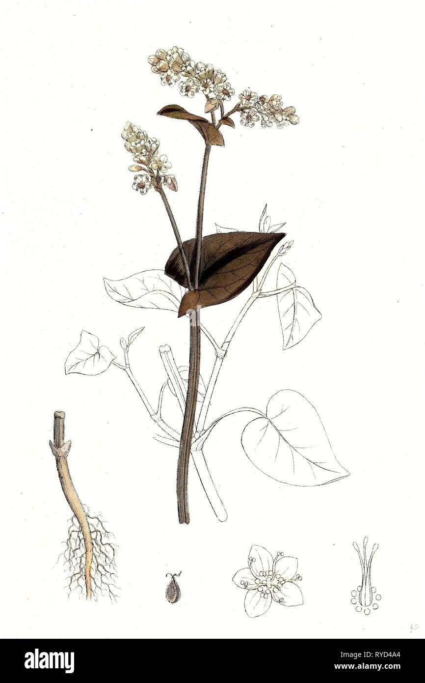 Polygonum Fagopyrum Common Buckwheat - Stock Image